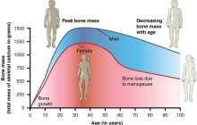 Stem cell therapy reverses age-related osteoporosis in mice