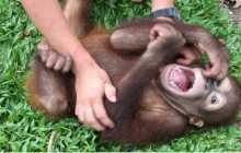 What I Learned From Tickling Apes