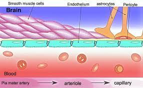 Blood–brain barrier - Wikipedia