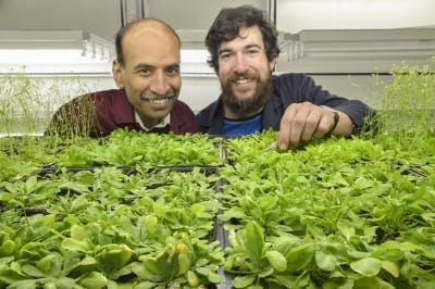 (L-R) Associate Professor Sureshkumar Balasubramanian and PhD student Craig Dent in his lab with Arabidopsis plants. Credit Steven Morton