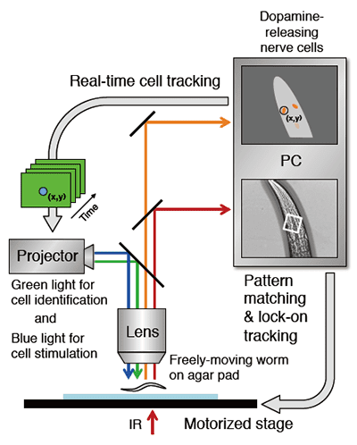Figure 1. Schematic drawing of the robot microscope system for optical manipulation of a nerve cell. (Adapted from Tanimoto et al., Scientific Reports)