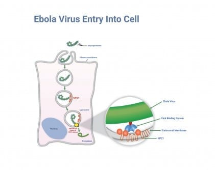 Credit: Albert Einstein College of Medicine How Ebola Enters the Cell