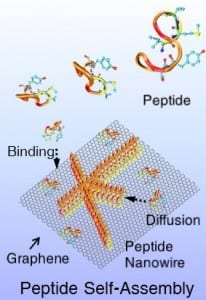 Depiction of peptides self-assembling into nanowires on a 2-D surface of the semimetal graphene.Mehmet Sarikaya