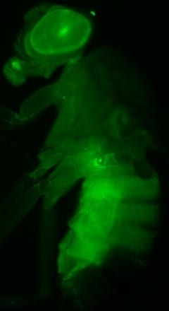 Transgenic fruit fly expressing green fluorescent protein in the liver-like fat body – the main target of corazonin. Image by Meet Zandawala