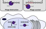 An anti-CRISPR could prevent off-target effects