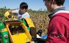 Newly engineered sugarcane can produce oil for biodiesel and sugar for ethanol at the same time