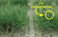 New transgenic strain of rice actually improves yield under drought conditions