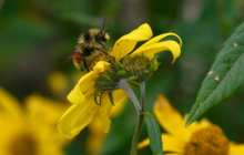 It's complicated: Climate change is a major threat to bumble bees