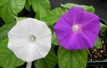 In a world-first, CRISPR/Cas9 is used to change flower color