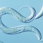 Researchers discover a new molecular pathway that controls lifespan and healthspan in worms and mammals