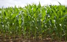 An efficient way to enhance the nutritional value of corn to benefit millions