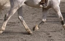Gene therapy can cure lameness in horses - big implications