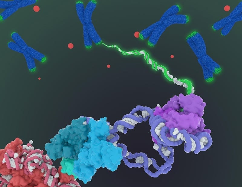 New detailing of the structure of telomerase paves way for