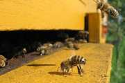 Probiotics can decrease the mortality rate due to nosemosis in bees by up to 40%