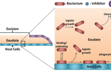 Microbeads could help reduce or eliminate bacterial infections in burn wounds
