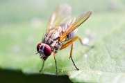 Alzheimer's disease symptoms reversed in fruit flies