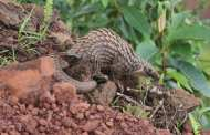 Can forensics save the world's most-trafficked mammal?