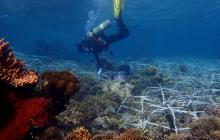 Large areas of coral reefs can be rehabilitated with new