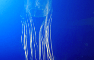 CRISPR genome editing provides an antidote to the deadly box jellyfish sting