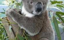 Expanding the microbiomes of koalas so they can eat a wider range of eucalypts to survive