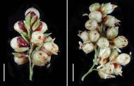 Doubling the amount of grains that a sorghum plant can yield