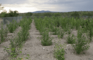 Genetically modifying poplar trees to save air quality works