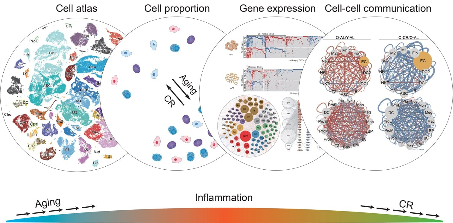 The illustration represents the ways in which caloric restriction affects various aspects of cellular function, with the overall result of reducing inflammation and the activity of many aging-related genes. Credit: Salk Institute
