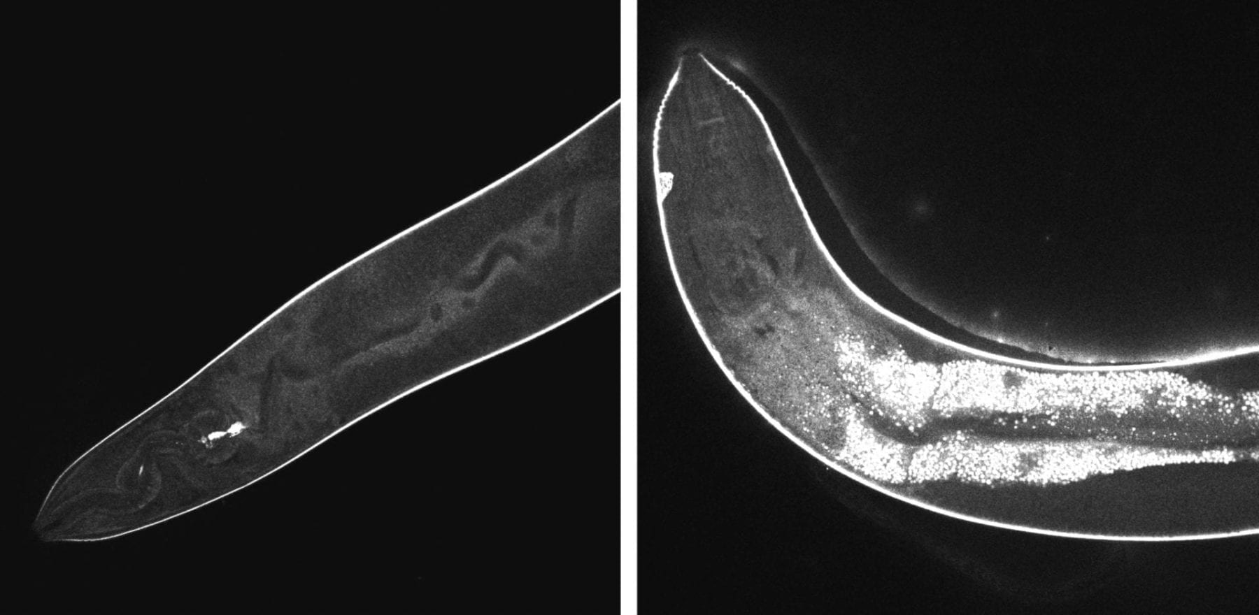 High-resolution confocal images show the effects of light-activated molecular drills on cells inside a worm. Before activation, at left, the injected drills remain dark. At right, after 15 minutes of exposure to light, fluorescent signals show widespread damage in the transparent nematodes. The drills developed at Rice University are intended to target drug-resistant bacteria, cancer and other disease-causing cells and destroy them without damaging adjacent healthy cells. Image by Thushara Galbadage/Biola University