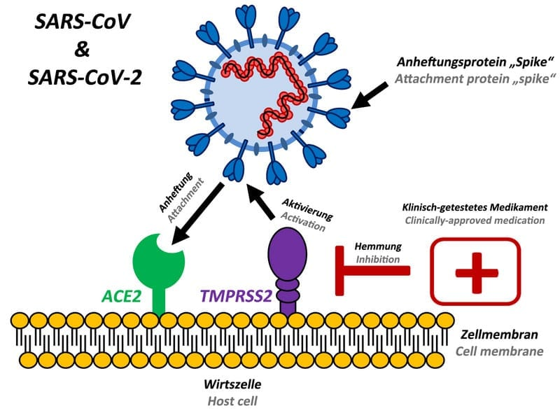 """The attachment protein""""spike"""" of the new coronavirus SARS-CoV-2 uses the same cellular attachment factor (ACE2) as SARS-CoV and uses the cellular protease TMPRSS2 for its activation. Existing, clinically approved drugs directed against TMPRSS2 inhibit SARS-CoV-2 infection of lung cells. Illustration: Markus Hoffmann"""