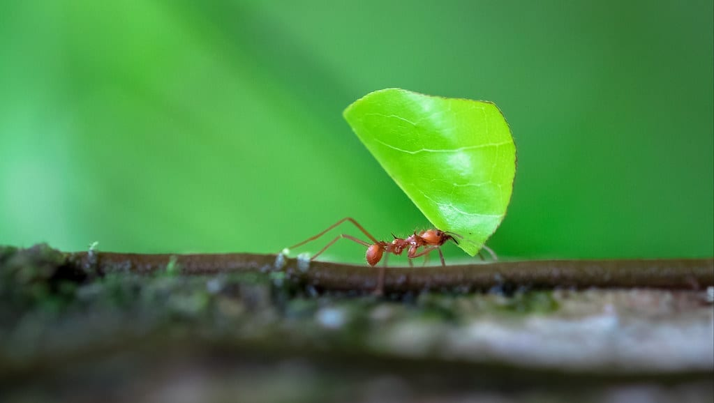 Leaf cutting ants cause an estimated $8 billion damage each year to eucalyptus forestry in Brazil alone.