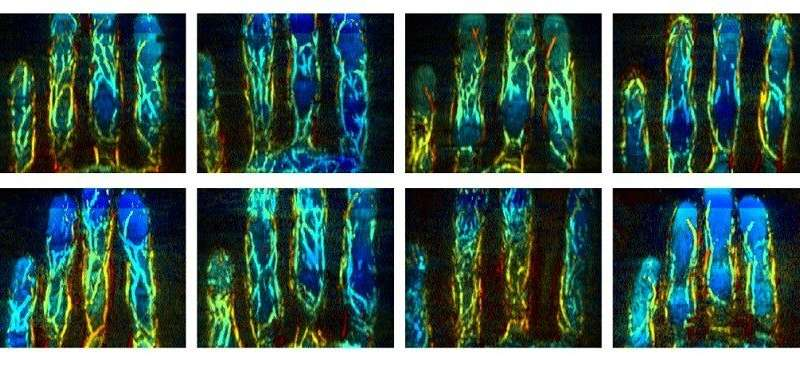 Researchers developed a new biometric approach that uses 3D images of finger veins. Shown are finger vessel images from eight different subjects, with colors that represent different depths. Credit: Jun Xia, University at Buffalo, The State University of New York