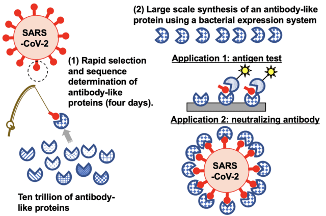 The TRAP display method'fishes' for synthetic proteins from among a library of trillions for those that can target SARS-CoV-2. The approach was able to identify proteins that can be used for testing for the virus and potentially treating people infected with COVID-19. (Credit: Hiroshi Murakami)