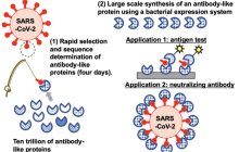 Quickly sifting through trillions of synthetic proteins to find ones that can target viruses to meet evolving pandemics