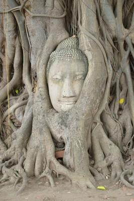ayutthaya - buddha tra le radici - thailandia