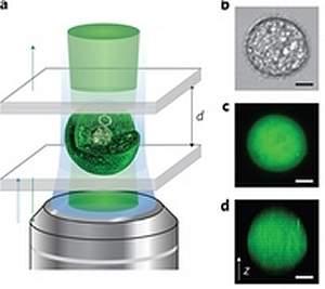 O laser celular foi montado colocando uma única célula em uma microcavidade composta por dois espelhos altamente reflexivos, espaçados por 20 milionésimos de metro. [Imagem: Gather/Yun]
