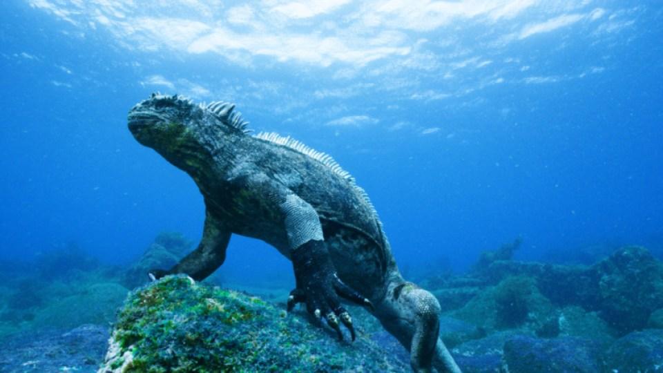 A marine iguana grazes green algae                 Copyright: Colossus Productions