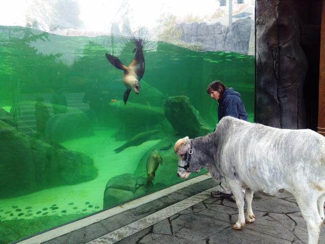 Bubbles the dwarf zebu visits the PGAV Destinations-designed Sea Lion Sound. Courtesy St Louis Zoo