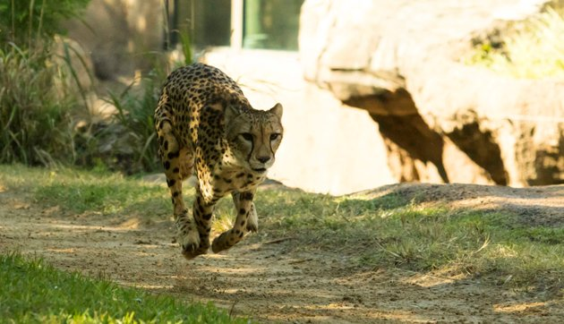 2014_BUSCH_GARDENS_TAMPA_CHEETAH_RUN_04