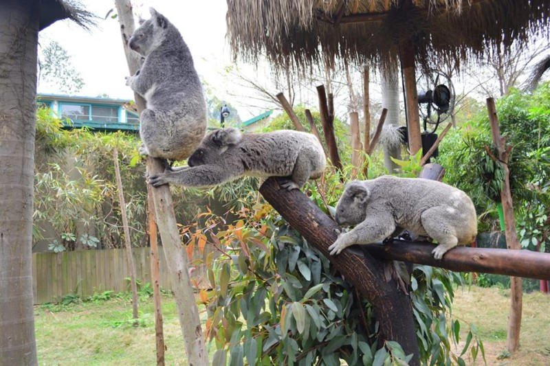Koalas at Chimelong Safari Park, Chimelong Guangzhou Resort. Courtesy Chimelong Group.