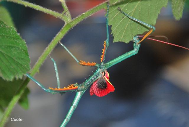 Archrioptera fallax