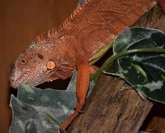 Iguane rouge