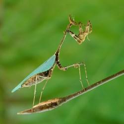 Sibylla Pretiosa - Cryptic Mantis - Adult Female