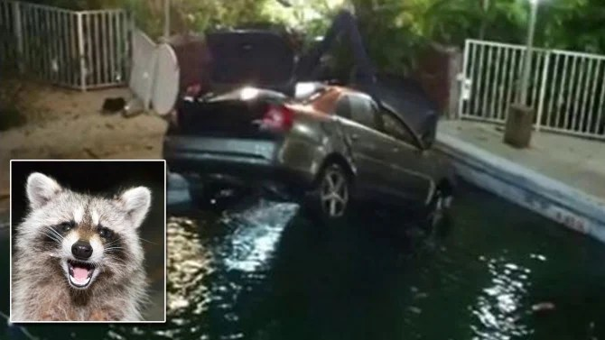Motorist Crashes Car Into Swimming Pool As She Tries To Dodge Raccoon Inside Edition