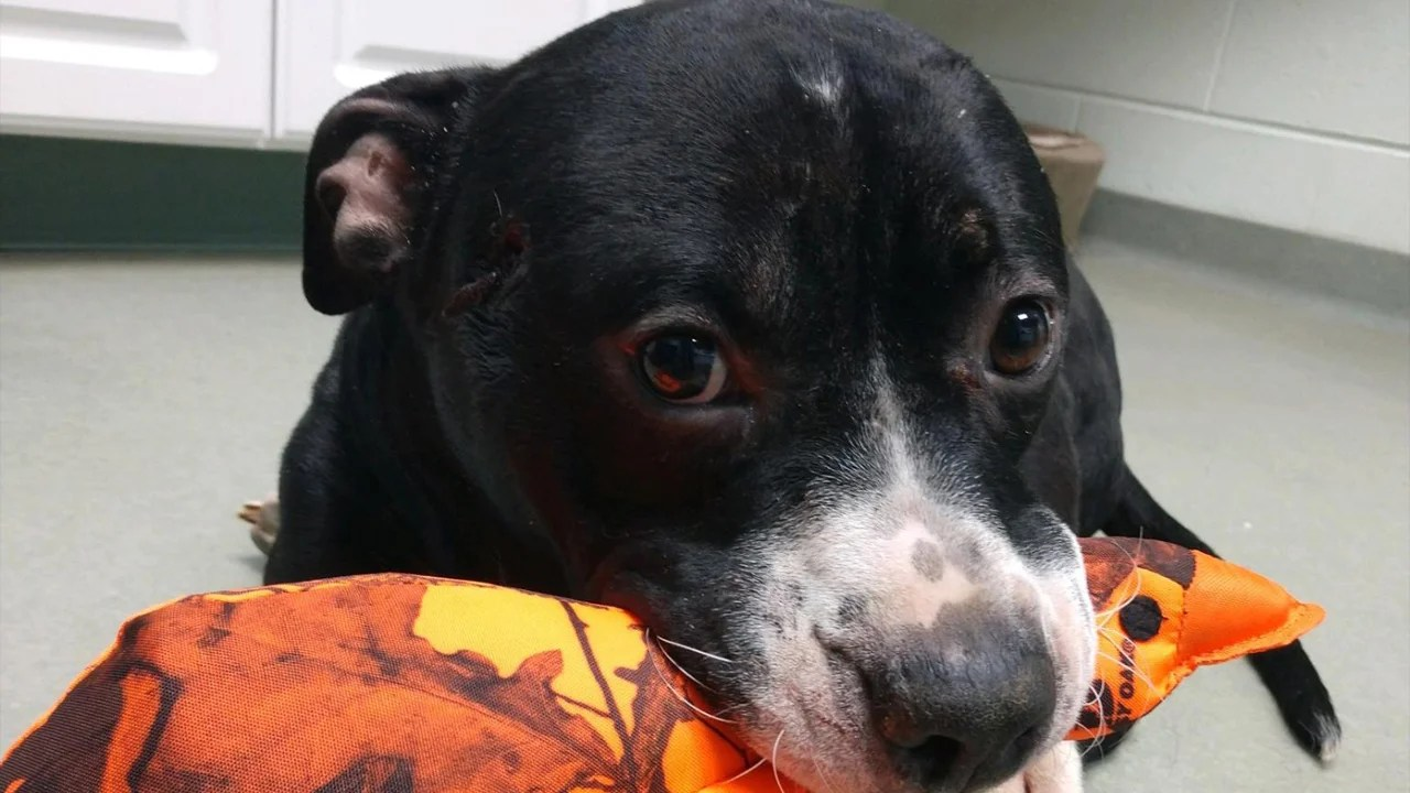 Dog Shot In The Head And Left For Dead Makes Miraculous Recovery Inside Edition