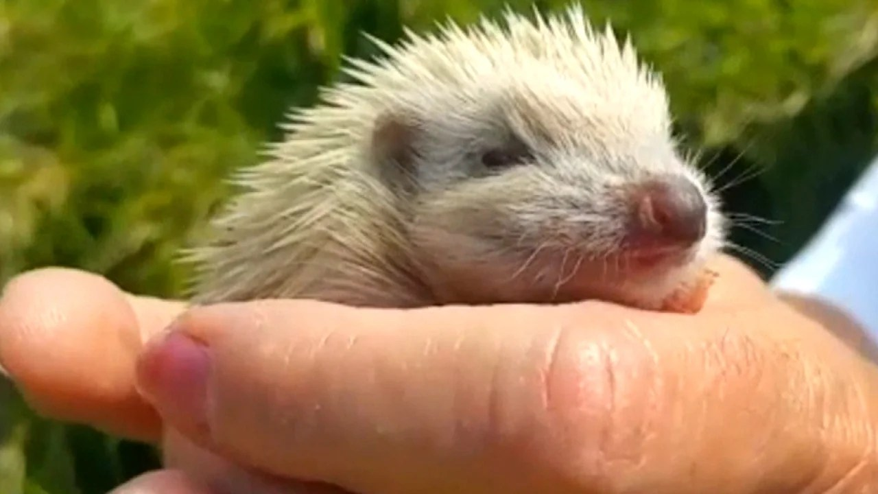 Why Blondie The Hedgehog Isnt Albino Inside Edition
