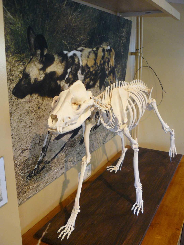 Skeletten | Afrikaanse Wilde Hond | Safaripark Beekse Bergen