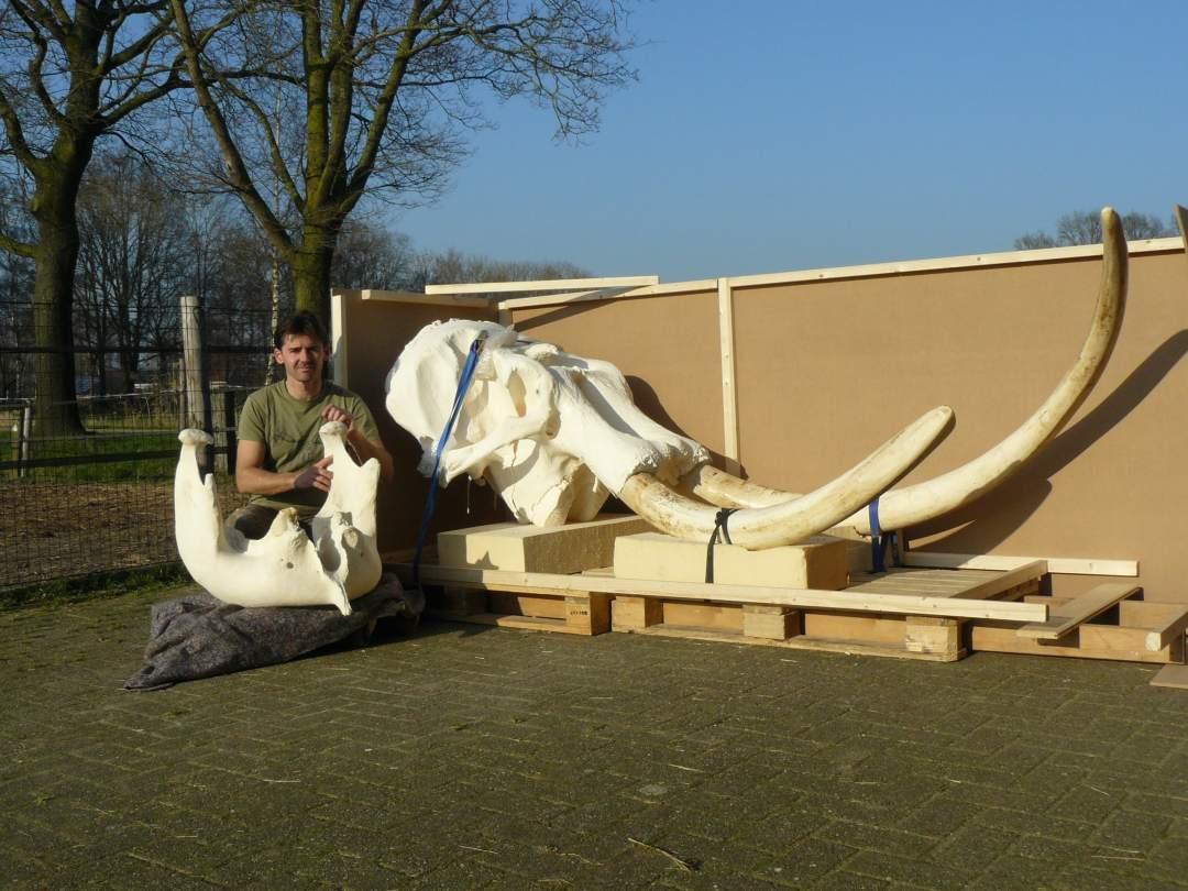 Skeletten | Indische Olifant I | Riga Zoo Emmen