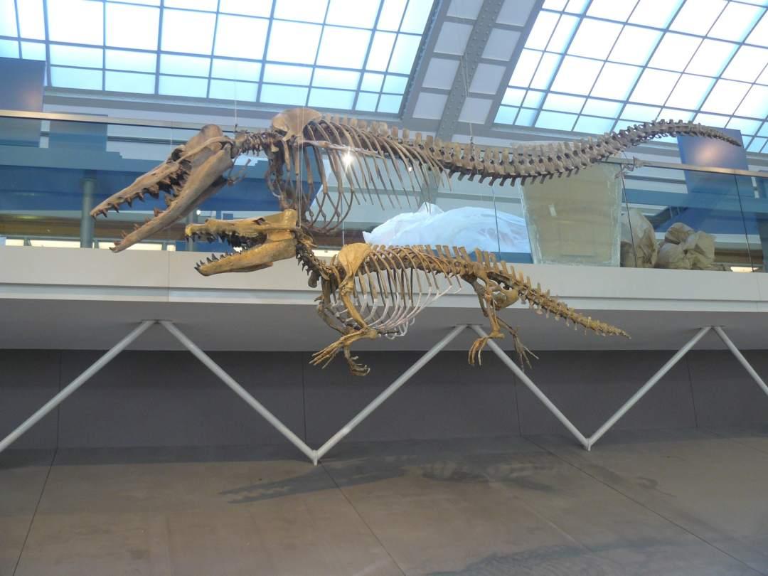 Skeletten   Maiacetus   Brussels Natuur Museum