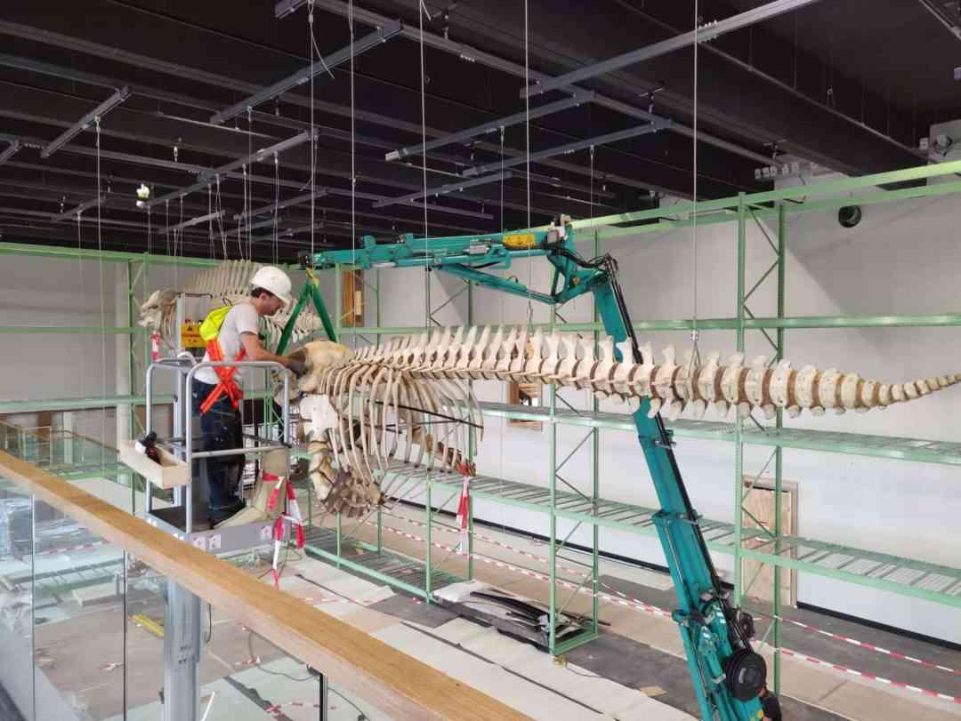 Skeletten | ophangen orka | Naturalis Biodiversity Center