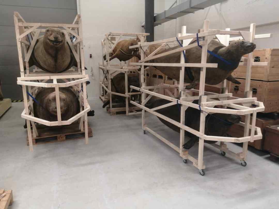 Huidpreparaten | Vervaardigen van houten opslagsteunen voor historische zeezoogdieren in collectie | Naturalis  Biodiversity Center
